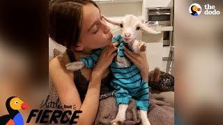 Baby Goat Is Pretty Sure He's A Dog | The Dodo Little But Fierce width=