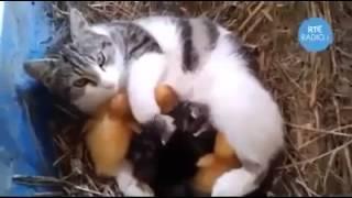 getlinkyoutube.com-سبحان الحنان قطة ترقد على بيض الدجاج وترعى الكتاكيت