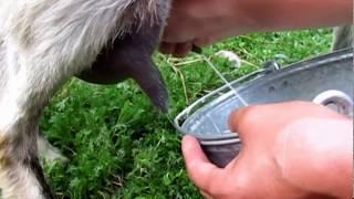 getlinkyoutube.com-Как подоить козу .