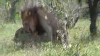 Kruger Lion xxx