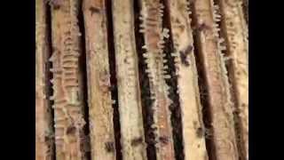 getlinkyoutube.com-улочки пчёл в октябре