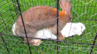 Bunny rabbits mating funny fast animals mating close up