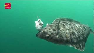 getlinkyoutube.com-Angelreisen Hamburg - Heilbutt unter Wasser in Havøysund/Nord-Norwegen