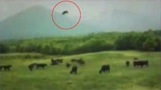 getlinkyoutube.com-Cow Abduction Caught On Camera!