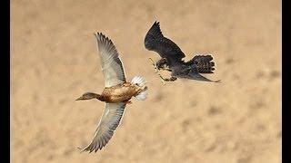 getlinkyoutube.com-Watch Falcon Destroys Duck Mid Flight