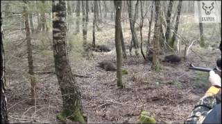 Wild boar fever Poland