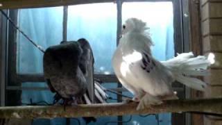 getlinkyoutube.com-fancy pigeons 3