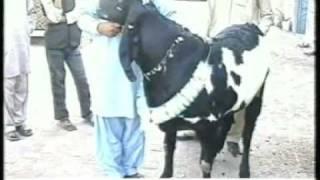 getlinkyoutube.com-275kg Goat of Bakra Eid