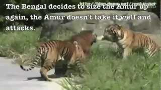 getlinkyoutube.com-Siberian tiger vs. Bengal tiger - Fighting techniques