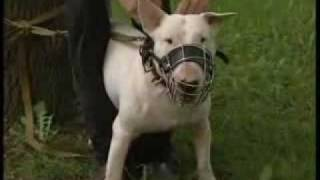UP TV - Собаки-убийцы.