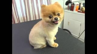 getlinkyoutube.com-Watch this before you shave a Pomeranian
