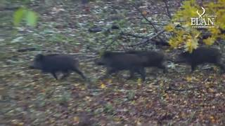 getlinkyoutube.com-Driven Wild Boar Hunt in Hungary
