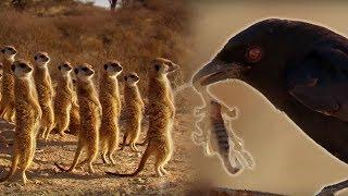 Drongo Bird Tricks Meerkats | Africa | BBC Earth width=