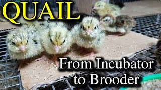 getlinkyoutube.com-Hatching Quail Eggs & Brooding Coturnix Chicks with Tips