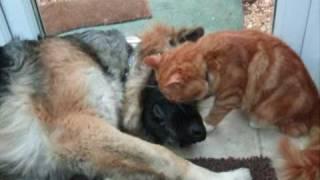 getlinkyoutube.com-German Shepherd being adored by the cat! Cat stevens-I love my dog