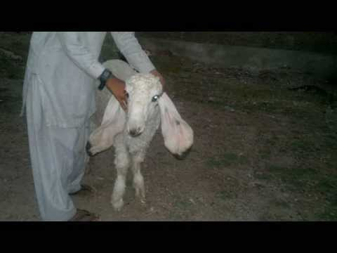 kajla for sale gujranwala