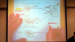 getlinkyoutube.com-AUTONOMIC NERVOUS SYSTEM; PART 1 by Professor Fink.wmv