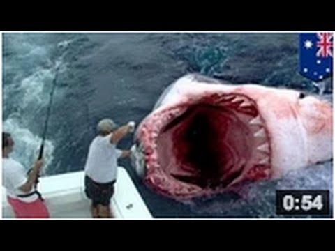 Un géant requin blanc a été mangé par un monstre des mers aussi connu comme le megalodon