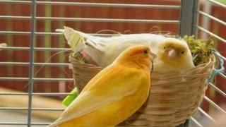 getlinkyoutube.com-سبب تأخر انثى الكناري في وضع البيض في العش