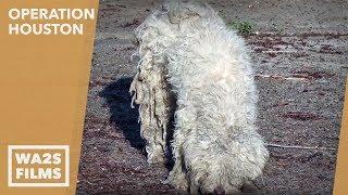 getlinkyoutube.com-Hope For Paws: Rescue of Scared, Hungry, Injured Poodle by Blue Guardian Rescue