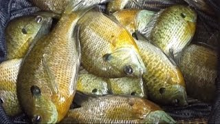 getlinkyoutube.com-Catch tons of catfish bait with slim jims - store live bait in keepnet -portable live well