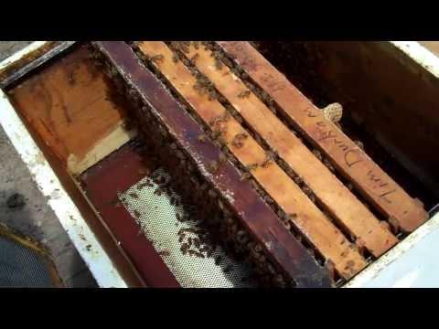 Honeybees, Tips for new Beekeepers Honey Bee Queens & comb honey