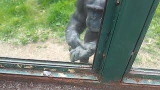 getlinkyoutube.com-مقطع مؤثر - قرد في حديقة الحيوان يطلب من الزوار فتح باب القفص ويشرح لهم كيف يفتحوا الباب