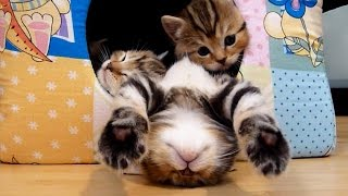 getlinkyoutube.com-Funny and Cute Kittens Falling Asleep  | Funny Cats Compilation