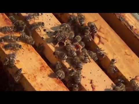 Pčela na cvetu slicnom maslačku