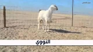 getlinkyoutube.com-عرض من حلال /الشيخ محيسن الجدعاني (مراح الألماس)