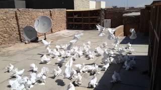 getlinkyoutube.com-طيور هنادي رووعه للبيع