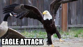 getlinkyoutube.com-Best Eagle Attacks; World's Largest and Deadliest, Bald and Golden Eagles!
