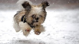"getlinkyoutube.com-""Dogs Playing in Snow Compilation"" 