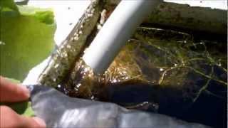 getlinkyoutube.com-My Cheap Aquaponics System: WOW!!!!