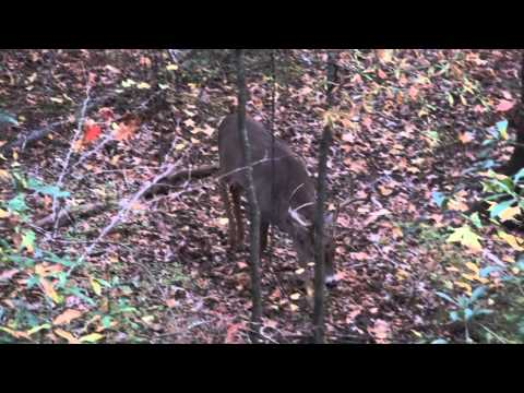 Whitetail Buck Grunting
