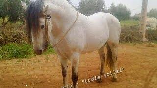 getlinkyoutube.com-اقوى الخيول البربرية الاصيلة tbourida marocco