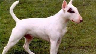 getlinkyoutube.com-معلومات عن كلب البول تيرير BULL TERRIER !!!!!!!!