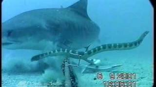 getlinkyoutube.com-Shark Vs. Sea Snake