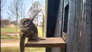 getlinkyoutube.com-Little Owl vs the Pigeon  9:12am  04 15 2013