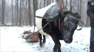 getlinkyoutube.com-Ox logging: Skidding and Stacking in New Snow
