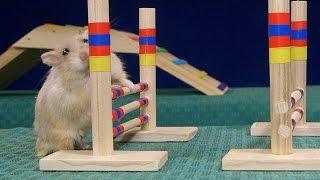 getlinkyoutube.com-Tiny Dwarf Hamster Agility Course - Dumptruck Vs Porkchop