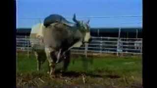 getlinkyoutube.com-วัวชน รุ่นยักษ์ (ไอ้แสนพลัง)