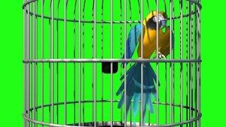 getlinkyoutube.com-Green Screen Parrot Cage Bird Flies - Footage PixelBoom