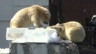 getlinkyoutube.com-ホッキョクグマ落下!~Presents ice Polar Bear