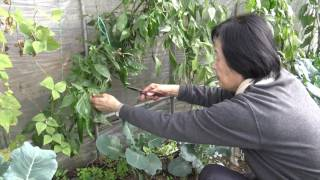 getlinkyoutube.com-菜園だより161128露地トマト終わる