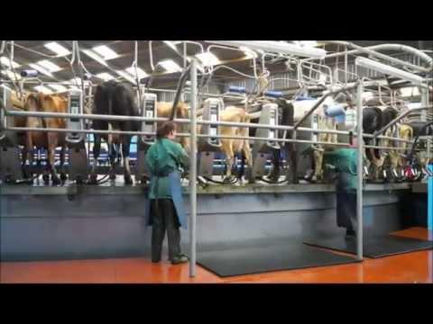 vacas na ordenha denominada carrossel