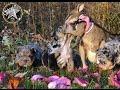 Blue merle English bulldog puppies with mini kangaroo