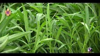 getlinkyoutube.com-เกษตรทำเงิน : ผักบุ้งจีนโตไว รายได้วันละ 2,000 บาท