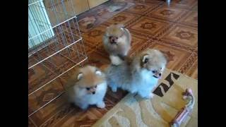 Litter 67. For sale 3 pomeranian puppies (2 males & 1 female), age 2,5 m