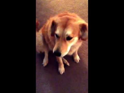 The amazing singing dog ANNIE